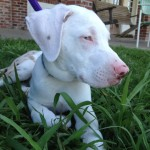 Moses the Deaf Catahoula Puppy