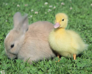 Rabbits, Dogs, Cats, Ducklings, and Chicks, Oh My!